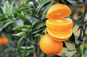 爱媛果冻橙代理