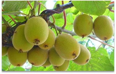 红心猕猴桃幼果